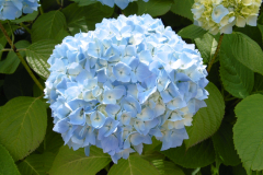 Gorgeous-blue-hydrangeas